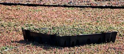 Boutures de sedums en plateau pour toits verts